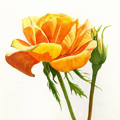 Yellow Orange Rose With Bud On White Poster by Sharon Freeman