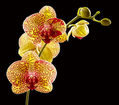 Yellow Orchid Poster by Jean Noren