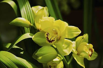 Yellow Orchid Poster by Terry Horstman