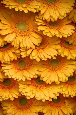 Yellow Peach Gerbera. Amsterdam Flower Market Poster