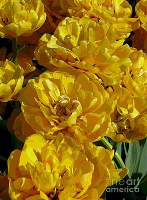 Yellow Peony Tulips Poster by Betsy Cotton
