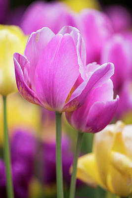Yellow, Pink And Purple Tulips Blooming Poster