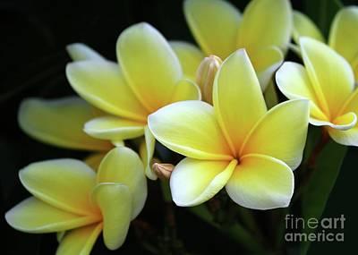 Yellow Plumeria Cascade Poster by Sabrina L Ryan