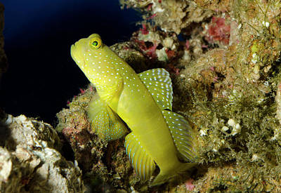 Yellow Prawn-goby Poster by Nigel Downer