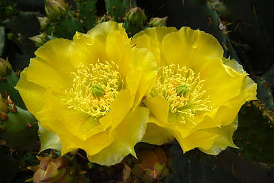 Poster featuring the photograph Yellow Prickly Pear Twins by Cindy McDaniel
