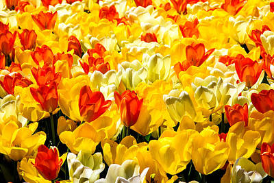 Yellow Red And White Tulips Poster by Menachem Ganon
