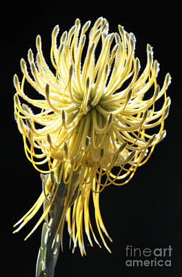 Yellow Rocket Pincushion Protea Poster by Neil Overy