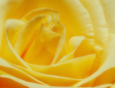 Poster featuring the photograph Yellow Rose by Bob Coates