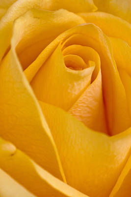 Yellow Rose Poster by Bob Noble Photography