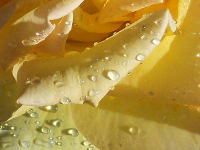 Yellow Rose Raindrops Poster by Diannah Lynch