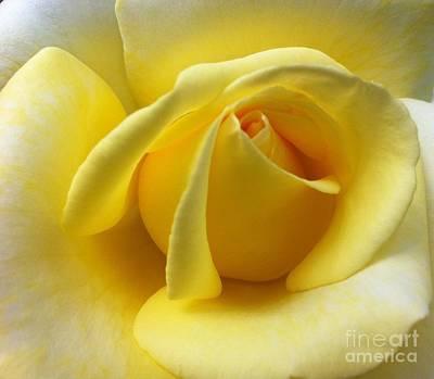 Yellow Rose Softness Poster