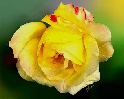 Yellow Rose Poster by Zelma Hensel