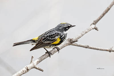 Yellow-rumped Warbler 3 Poster by Jeff Swanson