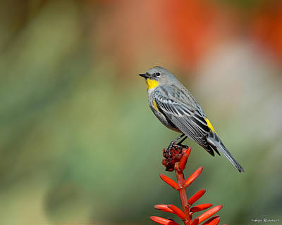 Poster featuring the photograph Yellow-rumped Warbler by Avian Resources