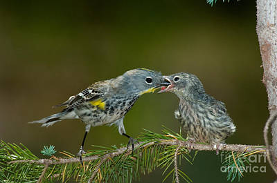 Yellow-rumped Warbler Feeding Young Poster by Anthony Mercieca