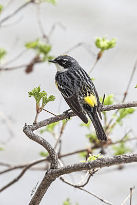 Yellow-rumped Warbler Poster by Jeff Swanson