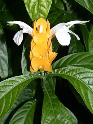 Yellow Shrimp Plant Poster