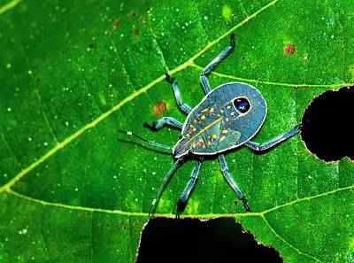 Yellow Spotted Stink Bug Poster