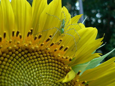 Yellow Sunflower With Green Spider Poster by MM Anderson