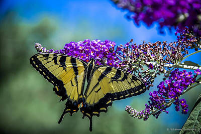 Poster featuring the photograph Yellow Swallowtail by Phil Abrams