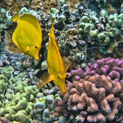 Poster featuring the photograph Yellow Tang Pair by Peggy Hughes