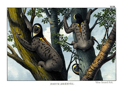 Yellow Throated Sloth Poster