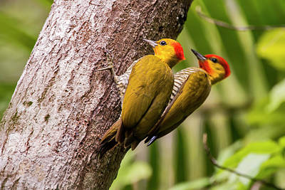 Yellow-throated Woodpecker Piculus Poster by Leonardo Mer�on