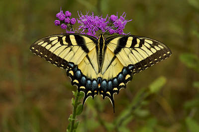 Yellow Tiger Swallowtail Butterfly. Poster