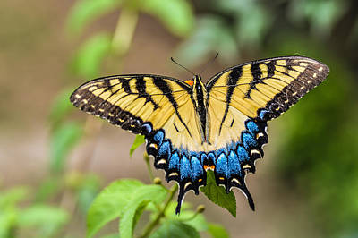 Yellow Tiger Swallowtail Poster by Debbie Green