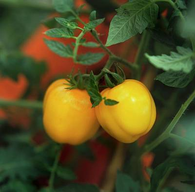 Yellow Tomatoes On The Plant Poster