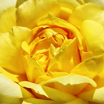 Yellow Tourmaline Rose Palm Springs Poster by William Dey