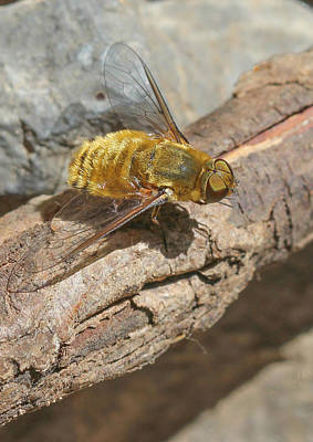 Poster featuring the photograph Yellow True Bee Fly - Bombiliinae by Jivko Nakev