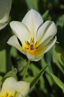 Yellow Tulip Poster by Bob Noble Photography
