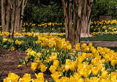 Yellow Tulip Pathway Poster