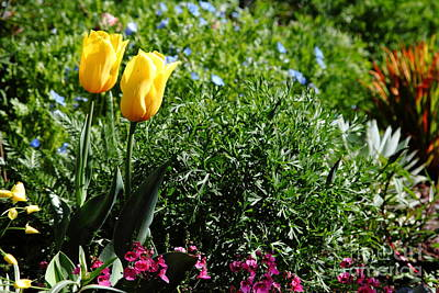 Yellow Tulips 5d22451 Poster