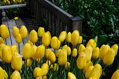 Poster featuring the photograph Yellow Tulips by Haleh Mahbod