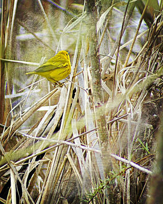 Yellow Warbler - Paint Poster by Carol Toepke