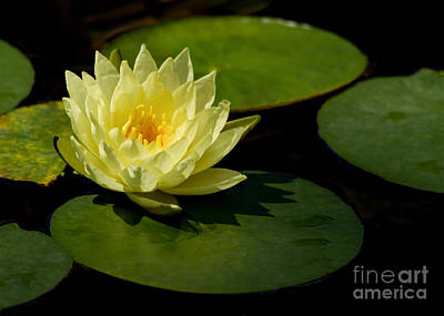 Yellow Water Lily Sitting Pretty Poster