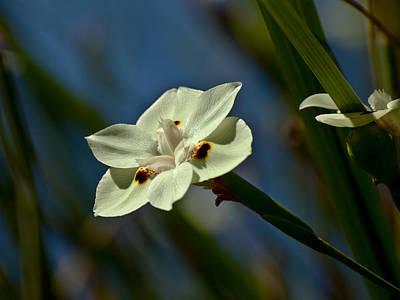 Yellow Wild Iris Poster