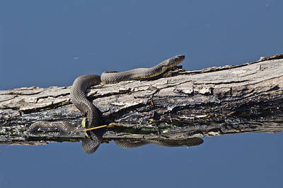 Yellowbelly Water Snake - 8494 Poster