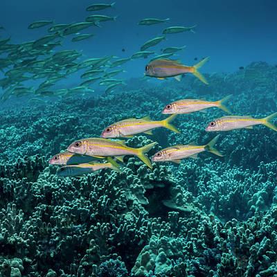 Yellowfin Goatfish  Mulloidichthys Poster by Thomas Kline