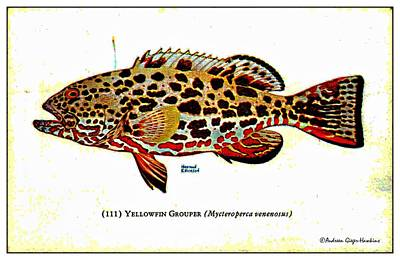 Yellowfin Grouper 1932 Vintage Postcard Poster