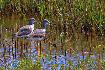 Poster featuring the photograph Yellowlegs Of Texas by Gary Holmes