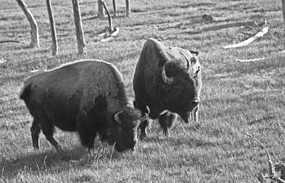 Yellowstone Bison In Late Afternoon Poster