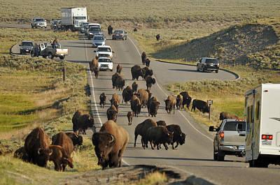 Yellowstone Bison Jam Poster