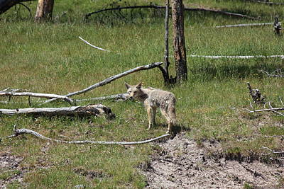 Yellowstone Coyote Poster
