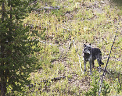 Poster featuring the photograph Yellowstone Wolf by Belinda Greb