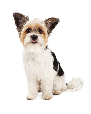 Yorkshire Terrier And Shihtzu Crossbreed Sitting Poster by Susan Schmitz