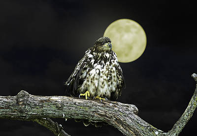 Poster featuring the photograph Young Bald Eagle By Moon Light by John Haldane