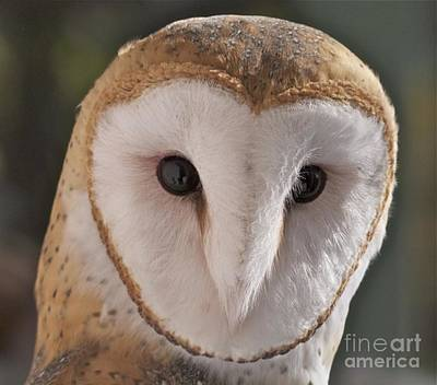 Poster featuring the photograph Young Barn Owl by K L Kingston
